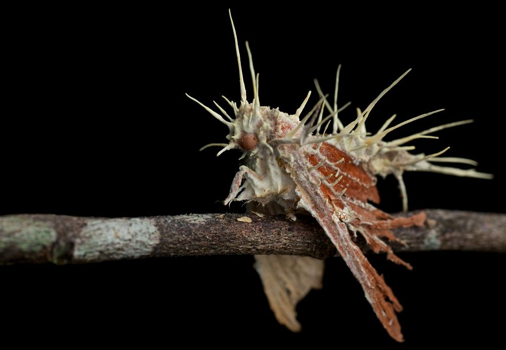 Moth infected with cordyceps fungus (1)-X2.jpg